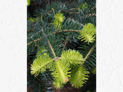 Abies cephalonica BD source