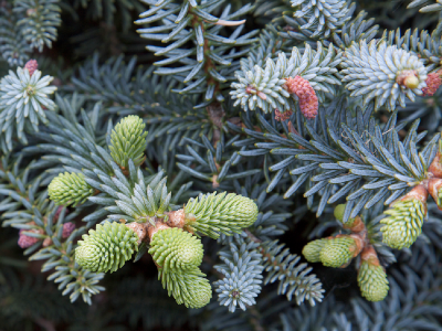 Abies pinsapo glauca BD source