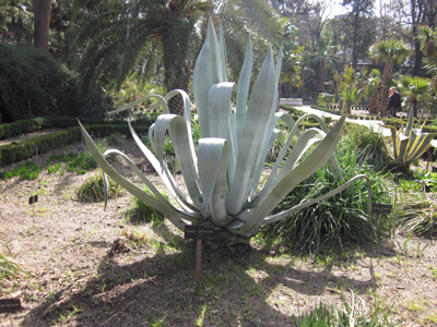 Agave americana BD source