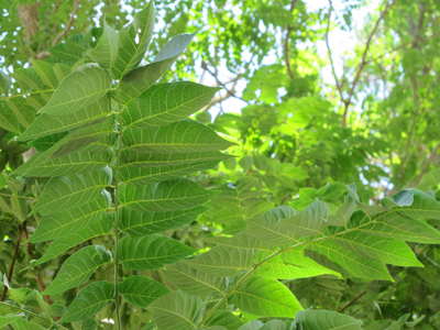 Ailanthus altissima BD source